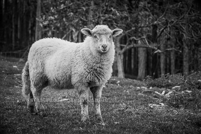 Sheep - Schaf - Ovis orientalis aries