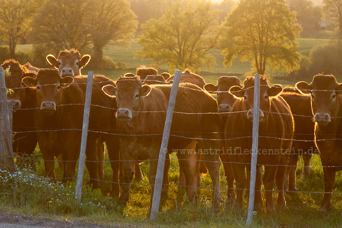 Limousin cattle - Limousin-Rind - Bos primigenius taurus