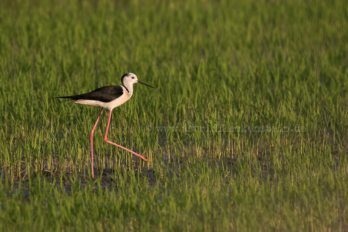 Black-winged stilt - Stelzenläufer - Himantopus himantopus